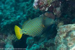 BD-120424-Marsa-Alam-6378-Balistapus-undulatus-(Park.-1797)-[Orange-lined-triggerfish.-Orangestrimmig-tryckarfisk].jpg